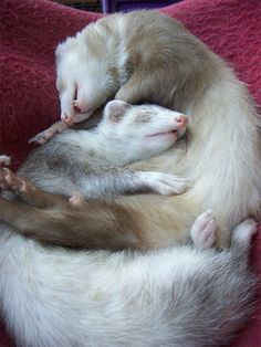Two ferrets sleeping together    I LOVE ferrets, we use to have 5. They are so much fun and when they slept they all slept together.. so sweet.