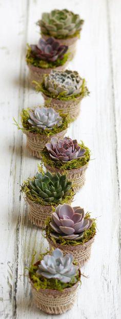 Succulent favors,Echeverias,Living succulents,Succulent pots,succulent centerpieces,wedding favors