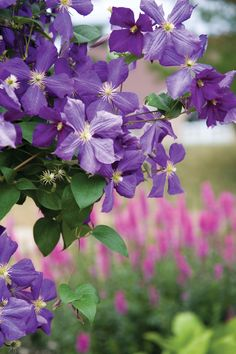 No garden is complete without the amazing blooms of Clematis! A glorious presence, this plant enhances any arbor or trellis with its extravagant vines.