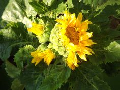 Sunflower, June 2012