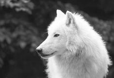wolf love  - Pesquisa Google