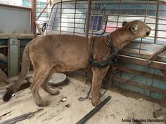Circus Cat Living In Car Freed From Life In Chains. Wild animals do not belong in circuses! Remember not to patronize any form of animals being used for entertainment.