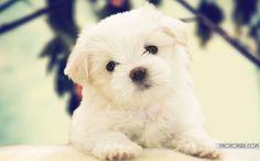 maltese dogs | Tumblr