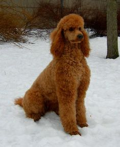 Red Standard  - Ruby from Bijou Standard Poodles.  These breeders are the bomb.