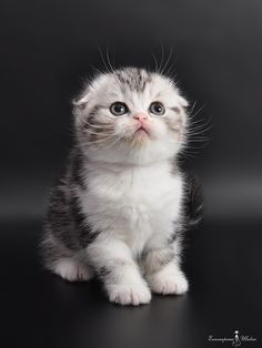 Scottish Fold kitten….A D O R A B L E