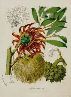 Eucalyptus cornuta from 1845 Louis Van Houtte Flores de Serres Australian Botanical Flowers Eucalyptus cornuta