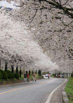 Cherry blossoms on the Seomjin riverside