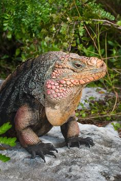 Andros Island Iguana...and who said that dinosaurs are extinct?