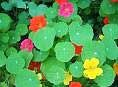 """nasturtiumsNasturtiums (Tropaeolum majus) have also had a long history as an edible flower. They have a peppery flavour similar to radishes and the small buds are known as """"capers"""". The flowers add colour and beauty to salads and vegetable dishes."""