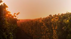 The Tuscan sun illuminates the vineyard and makes it look aflame.