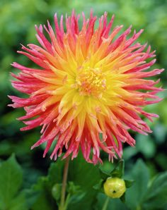 Dahlia 'Fringed Star'