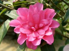 Camellia x williamsii 'Pink Dahlia' (U.S., 1981)