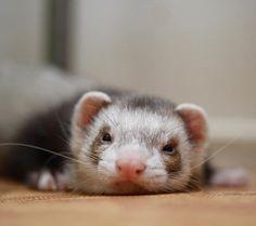 ʢ• ॰̫ •ʡຕ<ぼくめっちゃぺたりんちょだし〜みたいな #つイタチ #つイタチだしイタチの画像上げていこうぜ #ferret #pet #petstagram #instaferret #ferretgram