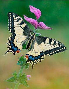 mariposa-sobre-las-flores-purpuras-insectos-butterfly.jpg (596×774)