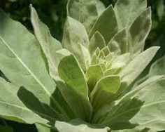 As you can see, Common Mullein has many more uses than emergency roadside TP. Take a look…