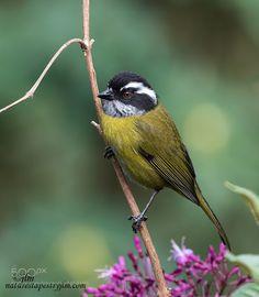 Stripe Headed Sparrow  !!!!! by judylynn via http://ift.tt/2hgsvdy