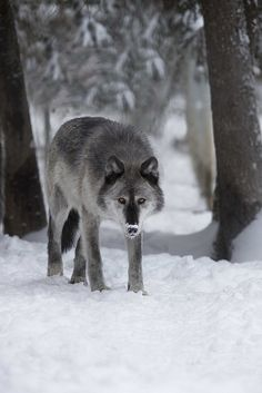Alaskan Wolf by Douglas Brown**