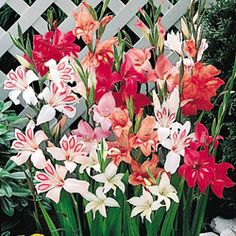 Hardy! Dwarf! Gladiolus. Ships In Spring And Fall. Blooms Early Summer