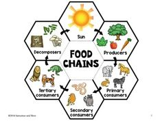 Food chains-Interactive Science Notebook foldable by Satsumas and Bees Food Chain Activities, Science Activities, Teaching Science, Science Experiments, Middle School Science, Science For Kids, Life Science, Science Penguin, Food Science