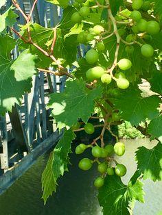Fruit, Vegetables, Pictures, Plants, Nature, Animals, Garten, The Fruit, Vegetable Recipes