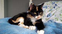 Found Cat - Calico - Foymount, ON, Canada K0J 1W0 on November 30, 2015 (11:00 AM)
