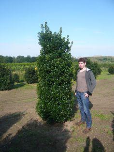 Auch größere Ilex-Exemplare sind erhältlich. Diese Exexmplare sind bereits viele Jahre verschult, weil Ilex / Stechpalmen eine der am langsam wachsendsten Heckenpflanzen sind.