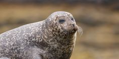 The Secret Killing Of Scotland's Seals