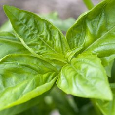 Basil: A Growing Guide  --  A quick guide to growing the ultimate garden herb.    Basil is one of the best herb to grow in the gardenSweet basil is a bushy annual, 1 to 2 feet high, with glossy opposite leaves and spikes of white flowers. Basil leaves are used in cooking, imparting their anise (licorice) flavor to dishes