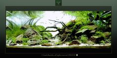 Nature Aquarium, Planted Aquarium, Aquatic Plants, Freshwater Aquarium, Driftwood, House Plants, Fresh Water, Aquascaping, Fish