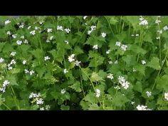 Czosnaczek pospolity, roślina jadalna - YouTube Herbs, Make It Yourself, Youtube, Herb, Youtubers, Youtube Movies, Medicinal Plants