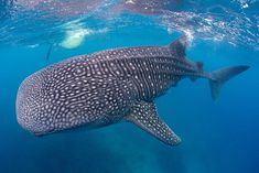Activities to do in Cebu city is a really Valuable Learning Experience Cebu City, Baguio, English Study, Activities To Do, Marine Life, Resort Spa, Beautiful Beaches, Philippines, Whale Sharks