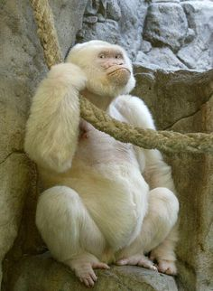 SNOWFLAKE the albino gorilla lived at Barcelona Zoo after being captured in Equatorial Guinea in 1966. He fathered 22 non-albino offspring.  ~1eyeJACK~