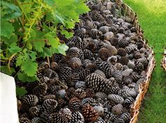 Use pine cones as mulch.   Keeps cats from digging in your flower beds, breaks down naturally and if put close to the house, will help keep spiders outside.
