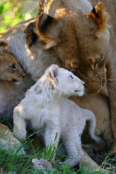 Lion cub and mother love Beautiful Cats, Animals Beautiful, Baby Animals, Cute Animals, Wild Animals, Lion Cub, Mundo Animal, Animals Of The World, Big Cats
