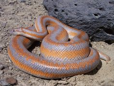 They are slightly derpy snakes but I think they're cute. Love Rosy, Rosy Boa, Weird Creatures, Reptiles And Amphibians, Snakes, Fur Babies, Dog Cat, Quail, Wild Life