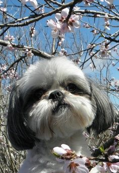 See more Health Problems in Shih Tzu Dogs