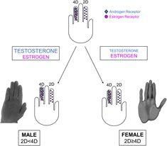 Digit Ratio & Sex Steroids