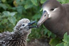 """FOAM: Albatross """"Baby"""" Pictures"""