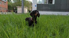 Puppy Daschund (Doberman tester)
