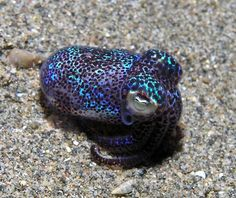 According to New Scientist, the (adorable) bobtail squid will be riding on the final launch of the space shuttle Endeavour.Scientists want to study the effect of microgravity on the bacteria that help the squid glow. Underwater Creatures, Underwater Life, Ocean Creatures, Beautiful Sea Creatures, The Villain, Ocean Life, Ocean Ocean, Pacific Ocean, Marine Life
