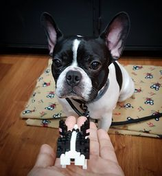 13 mentions J'aime, 1 commentaires - @kobe.madcow sur Instagram: «Mini Kobe!😍 Can I eat that? It looks yummy! #kobemadcow #frenchie #frenchbulldog #picoftheday…»