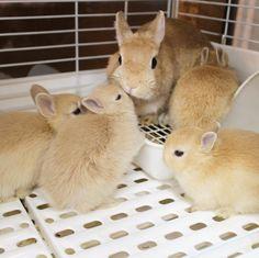 """1,721 Likes, 9 Comments - ラビットインパクト🇯🇵 (@rabbitimpact_) on Instagram: """"まだまだママに甘えまくってますよ♪ #bunny #rabbit  #animal  #pets #bunnystagram #instapets #rabbitstagram…"""""""