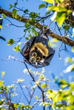 Spectacled flying fox ... °   Check out my bat board... http://www.pinterest.com/just4cheri/batty/