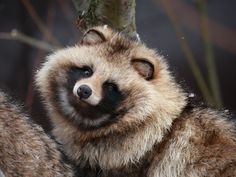 RACCOON DOG.....also known as magnut or tanuki....found in east Asia....a body length of 20 - 23.5 inches, a tail of 7 inches and weigh around 17 lbs....the only member of the dog family to hibernate