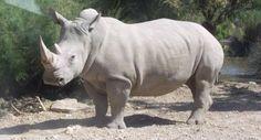 Ya solo quedan seis rinocerontes blancos del norte en todo el mundo - La Razón digital