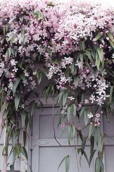 Clematis armandii Apple Blossom - Gardening Go. #beautiful #crazycatcoffee