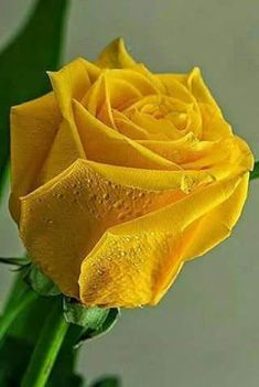 when do hybrid tea roses bloom Exotic Flowers, Love Flowers, My Flower, Pretty Roses, Beautiful Roses, Organic Roses, Rose Pictures, Hybrid Tea Roses, Yellow Roses