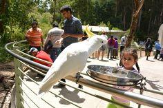 布里斯本❤️大鸚鵡