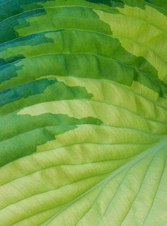 Close up abstract image of the green foliage of hosta 'eskimo pie'