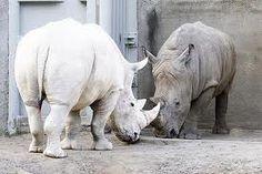 abino rhino